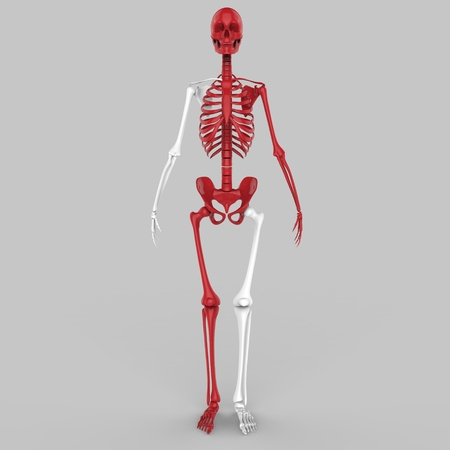 rib cage: Human Skeleton joints