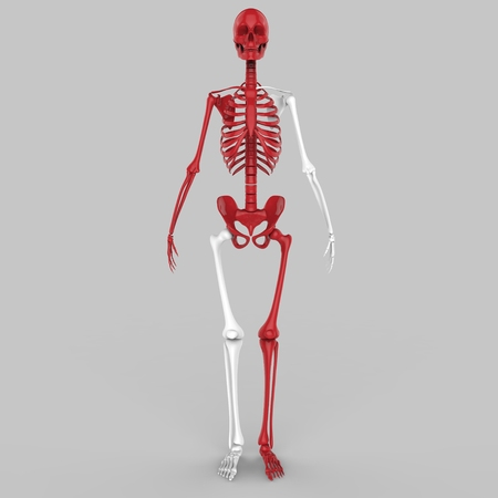 patella: Human Skeleton Joints Stock Photo