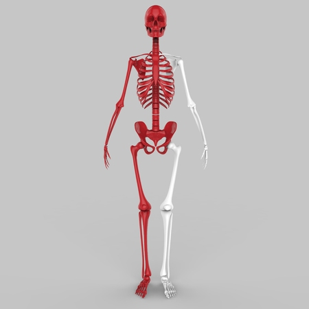 sternum: Human Skeleton joints