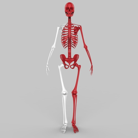 joints: Human Skeleton Joints Stock Photo