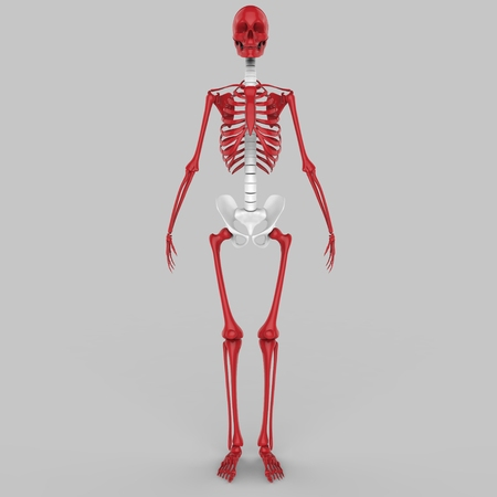 clavicle: Human Skeleton Joints Stock Photo