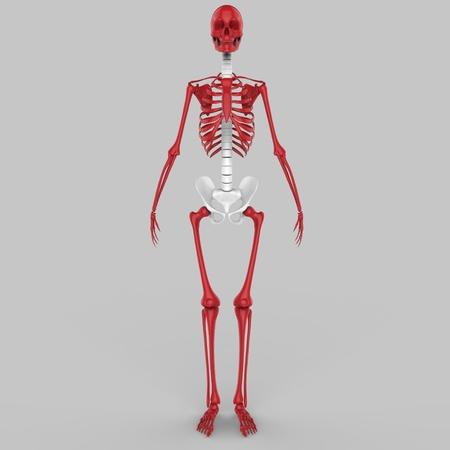 sternum: Human Skeleton Joints Stock Photo