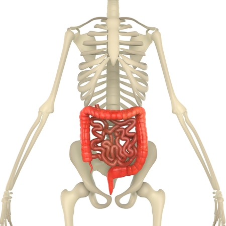 small intestine: Large and Small Intestine with Skeleton Stock Photo