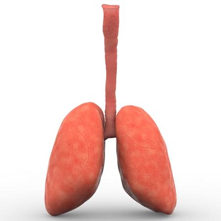 persona respirando: Pulmones Humanos