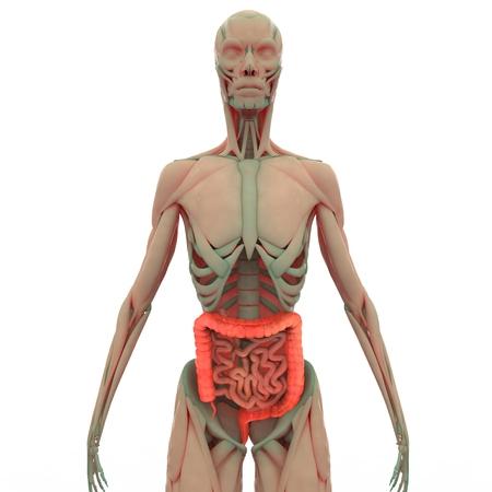 intestine: Grande y del intestino delgado Foto de archivo