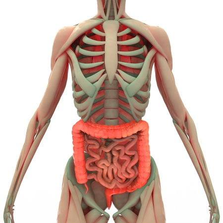 intestine: Large and Small Intestine