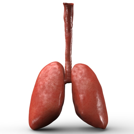lung: Human Lungs Stock Photo
