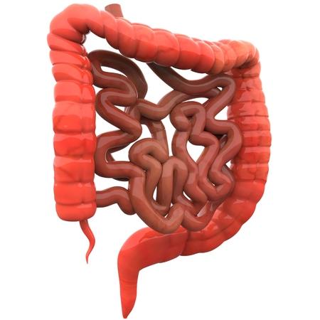 intestino: Grande y del intestino delgado Foto de archivo