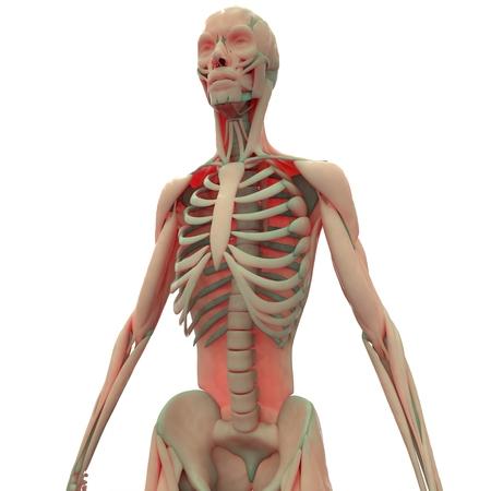 musculo: Cuerpo M�sculo humano Foto de archivo