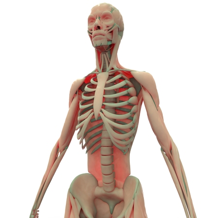 male muscle: Human Muscle Body