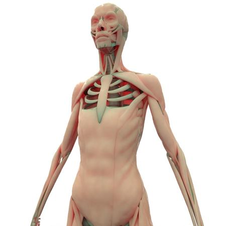 Menschlicher Muskel Körper Lizenzfreie Fotos, Bilder Und Stock ...