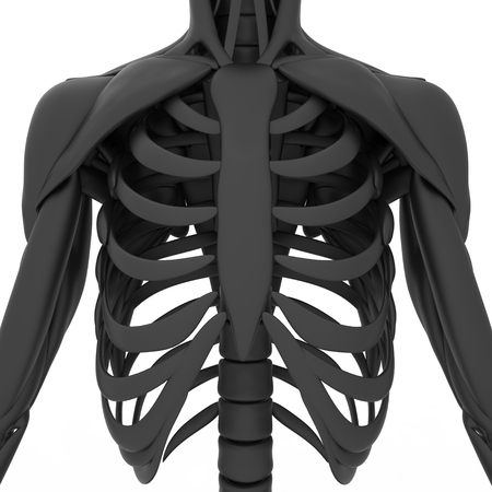 sternum: Human Scapula with Ribs