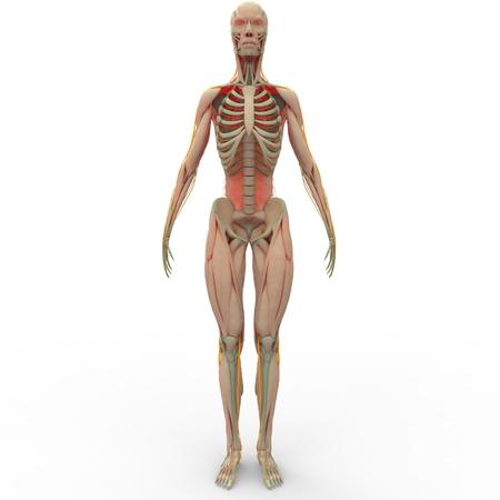 skeletal muscle: Human Muscle Body