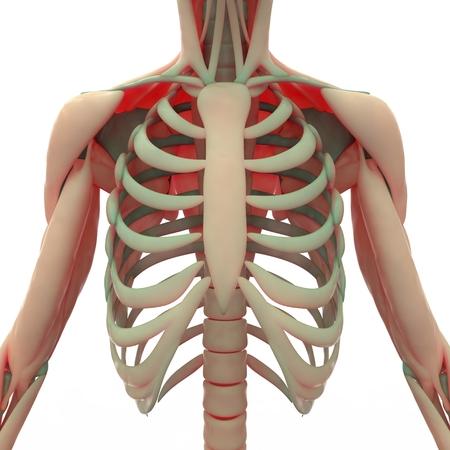 갈비뼈가있는 인간의 견갑골