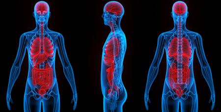 Human Body Organs Anatomy Stock Photo