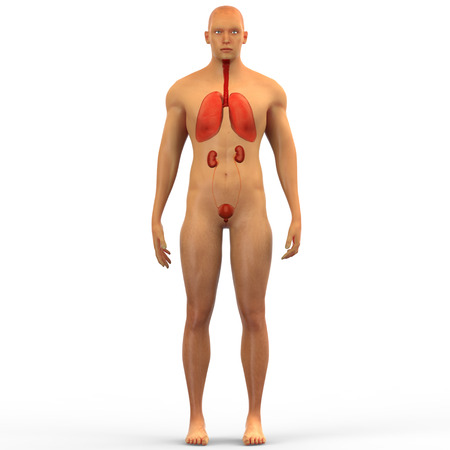 respiration: Human Body Organs Anatomy Stock Photo