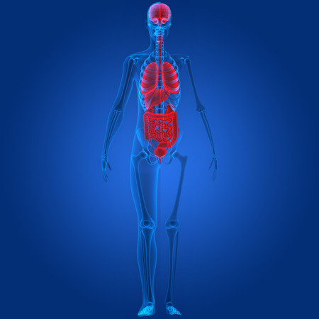 Human Body Organs Anatomy Stock Photo