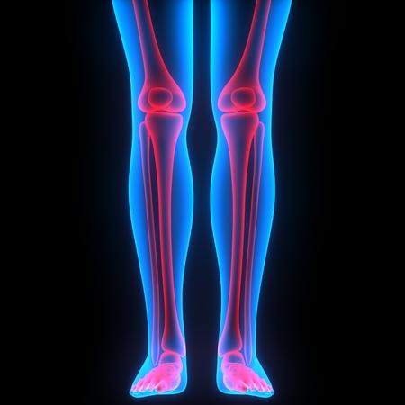 인체 뼈 관절 통증 해부학 (다리 관절)