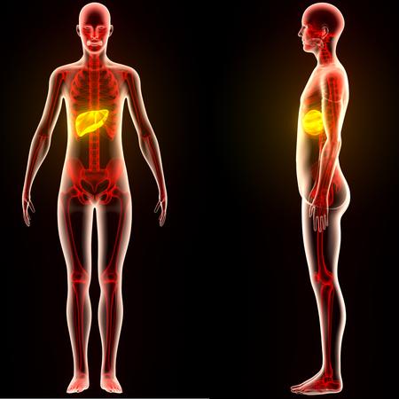 인체 신체 장기 해부학 (간)