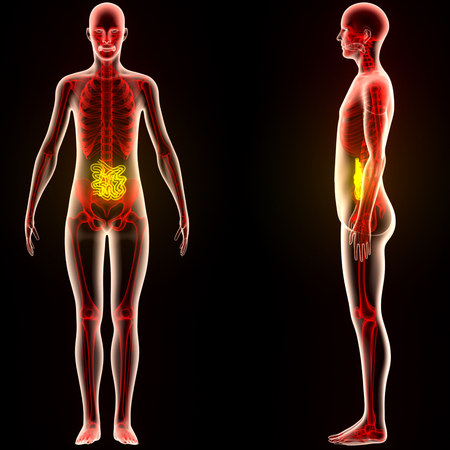 Human Digestive system Anatomy (Small Intestine)