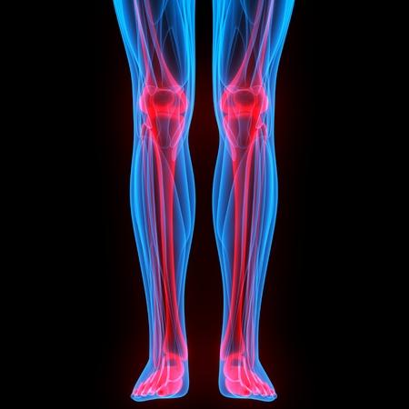 Menschlicher Körper Knochen Gelenkschmerzen (Beingelenke Anatomie ...