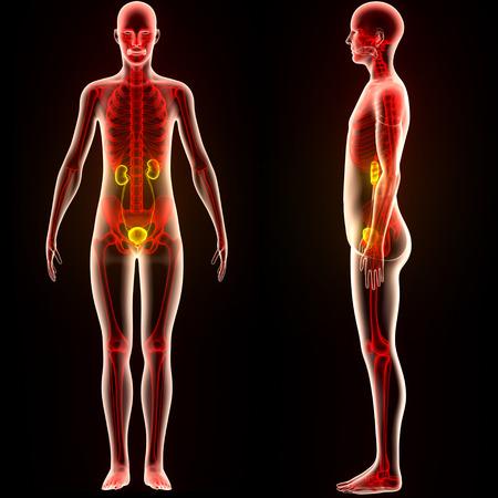 Menschlicher Körper Organe Anatomie (Nieren) Lizenzfreie Fotos ...