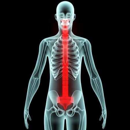 medula espinal: Los dolores del cuerpo humano ósea (médula espinal)