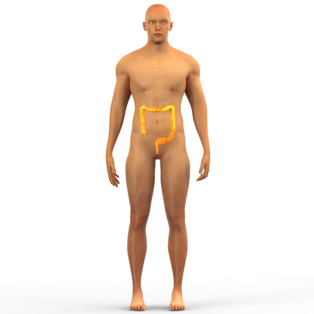 intestino grueso: Órganos del cuerpo humano (intestino grueso)