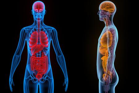 Human Body Organen (hersenen, longen, Groot en dunne darm met Nieren)