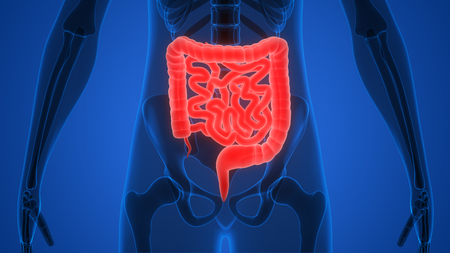 small intestine: Human Body Organs (Large and Small Intestine) Stock Photo