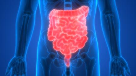 digesting: Human Digestive System (Large and Small Intestine Anatomy) Stock Photo