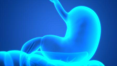gallbladder surgery: Human Digestive System (Stomach Anatomy)