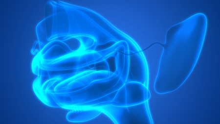 Human Digestive System (Mouth Anatomy)