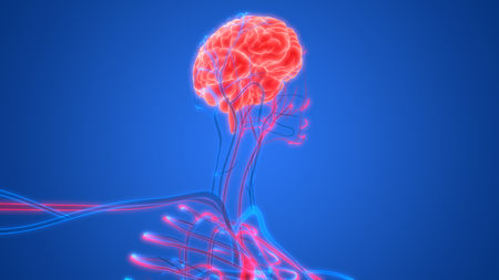 vascular: Human Brain with Circulatory System Anatomy