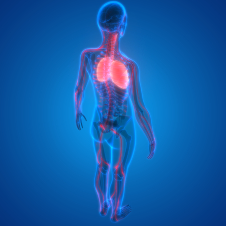 Human Body Organs (Lungs with Nervous system Anatomy) Stock Photo