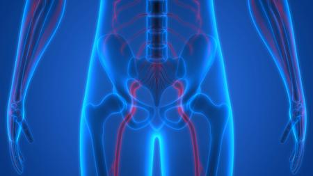 sciatic nerve: Human Skeleton with Nervous System Anatomy Stock Photo