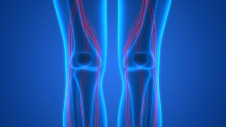 medical man: Human Skeleton with Nervous System (Knee joint)