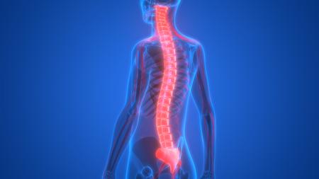 신경계와 인간의 해골 (척수 해부학) 스톡 콘텐츠