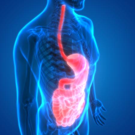 gallbladder surgery: Human Digestive System Anatomy Stock Photo