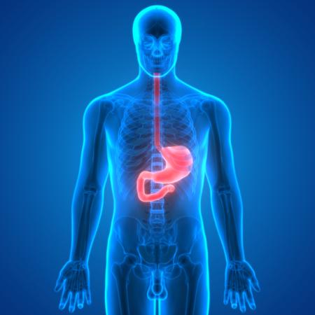 Human Digestive System Anatomy (Stomach) Stock Photo