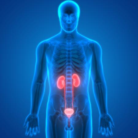Menschlicher Körper Organe (Nieren-Anatomie) Lizenzfreie Fotos ...