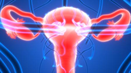 sistema reproductor femenino: El sistema reproductivo femenino con el sistema nervioso y la vejiga urinaria