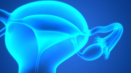 cervix: Female Reproductive System Anatomy Stock Photo