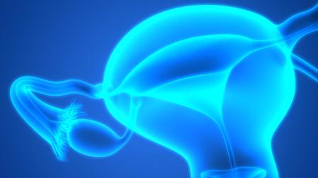sistema reproductor femenino: Femenina de la anatomía del sistema reproductivo