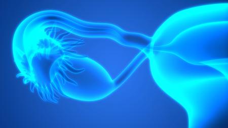 uterine: Female Reproductive System Anatomy Stock Photo