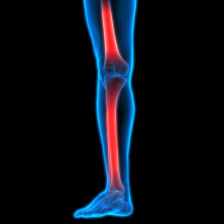 ulna: Human Body Bone Joint Pains (Leg Joint) Stock Photo