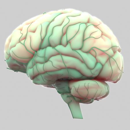 Human Brain with Nervous system Anatomy Stock Photo