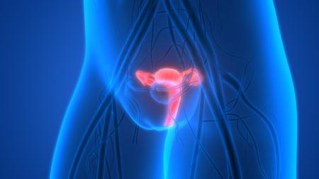 sistema reproductor femenino: El sistema reproductivo femenino con el sistema nervioso y Anatomía vejiga urinaria