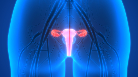 uterine: Female Reproductive System with nervous system and urinary bladder Anatomy