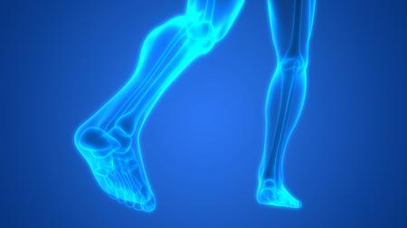 anatomy leg: Human Body Bone Joint Pains Anatomy (Leg Joints) Stock Photo